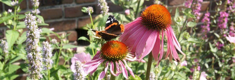 natuurlijke tuin vlindertuin Annesduurzametuinen zonnehoed Euchinacea