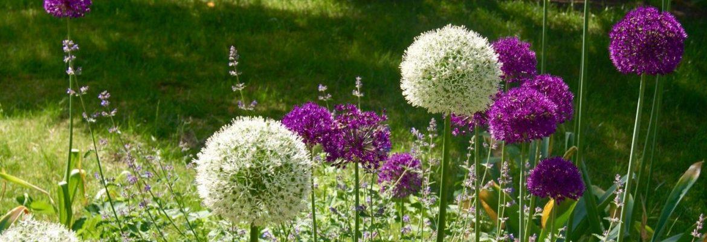 Alliums natuurlijke tuin Annesduurzametuinen